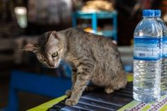 Myanmar(Burma) cat