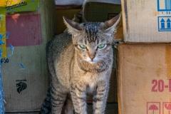 Nga Phe Kyaung Monastery cat