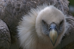 Griffon Vulture (Vale Gier)