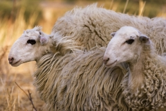 Crete Sheeps