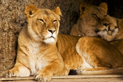 Lion's in Artis