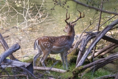 a Fallow deer (Dam Hert)
