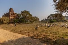 Burmese Goat Herders