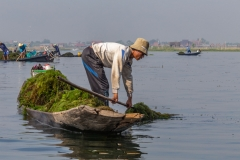 Local's collecting weed from the fresh water on Inle Lake